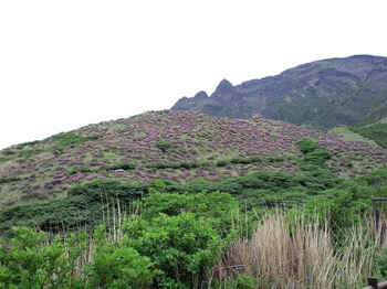 仙酔峡のミヤマキリシマ.JPG