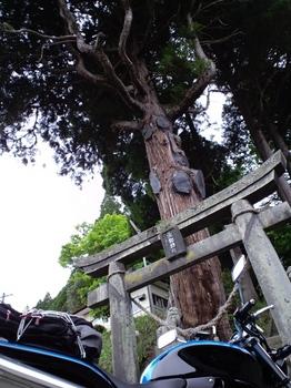 小田温泉あたりの神社の杉.JPG